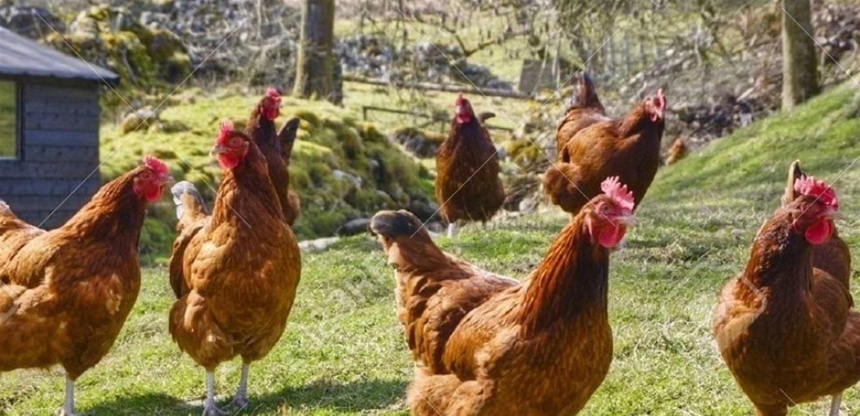 سرقة دجاج من مزرعة في عكار