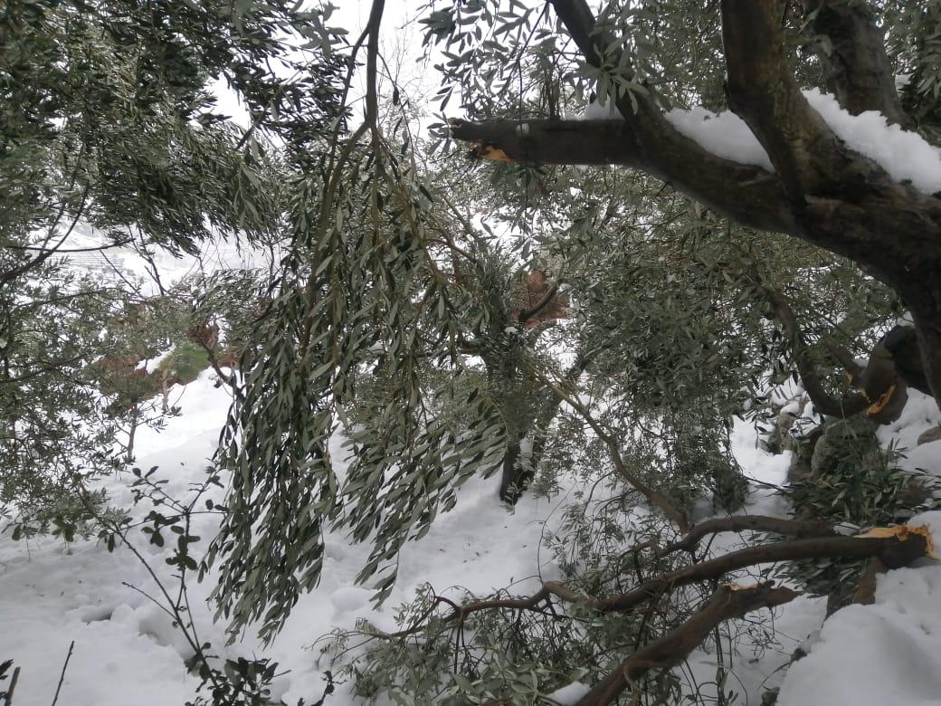 العاصفة تضرب أشجار الزيتون في الشوف ورسالة من خبير زراعي للمزارعين (صور)