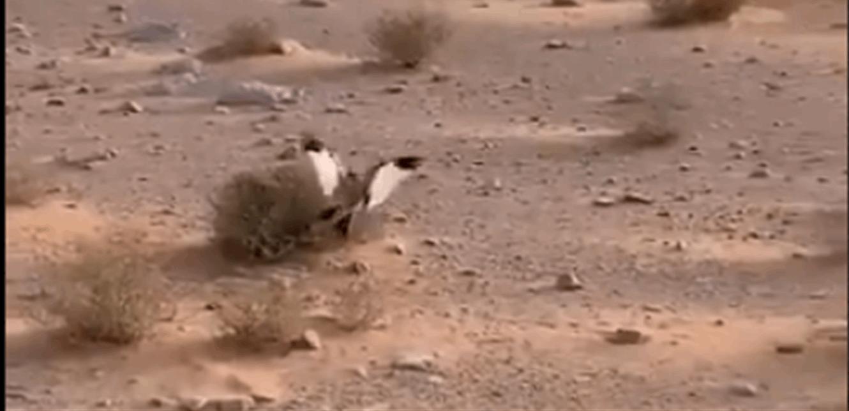 أنثى طائر تستغيث بشاب لإنقاذ عشّها من أفعى صحراوية! (فيديو)