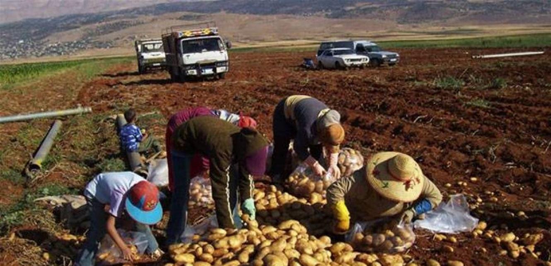 صرخة مزارعي البطاطا
